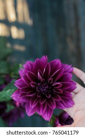 Purple dahlia held in the palm of a hand