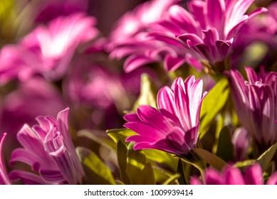 Purple Daisies illuminated by the morning sun