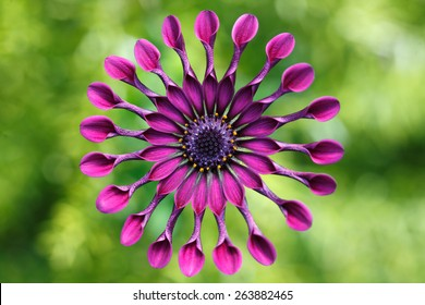Purple daisy/ African Daisy or Osteospermum exotic tropical flower.USA, Hawaii, Maui