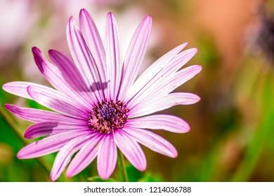 Purple Daisy Bloemfontein