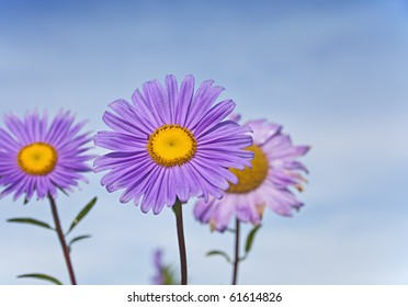 purple daisy in full blossom against blue sky with shallow depth of field. focus on flower's center. dew on the flowers leafs.