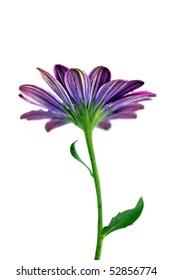 Purple daisy, isolated on white