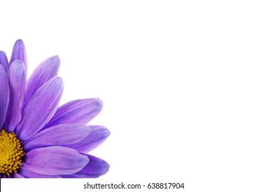 Purple daisy isolated on white background