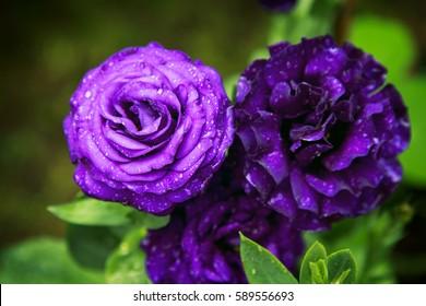 Dark Purple Rose Hd Stock Images Shutterstock