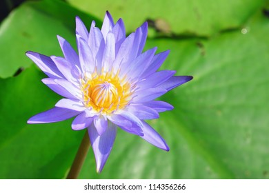 Purple day blooming water lily amid beautiful green lily pads