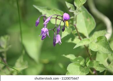 Purple Deadly Nightshade
