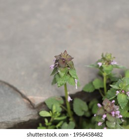 A purple deadnettle weed (Lamium purpureum) displays its intricate leaves and blossoms in spring.