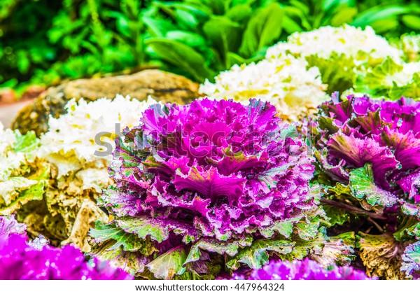 Purple decorative cabbage with dew, Thailand