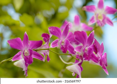 The purple dendrobium beauty blossom flower.