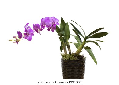 purple dendrobium orchid flower plant in a pot isolated on white