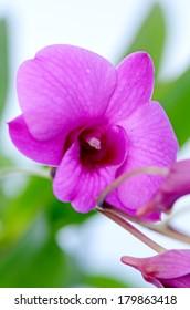 Purple Denerobium Orchids.