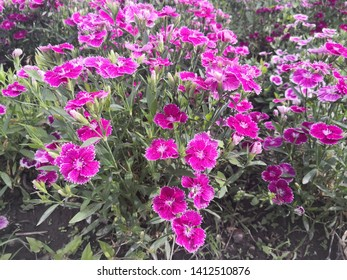 purple Dianthus chinensis flowers with white lace, Meaning is pure, brave love,thinking of to deceased mother, they absorb sulfur dioxide and chlorine gas