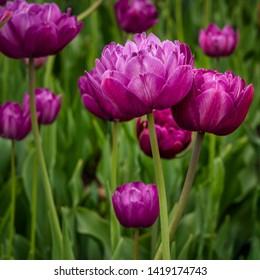 Purple double dazzle tulip flowers. Vertical