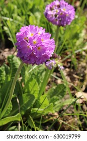 "Purple ""Drumstick Primrose"" flower (or Tooth-leaved Primrose) in St. Gallen, Switzerland. Its Latin name is Primula Denticulata, native to Himalayas."