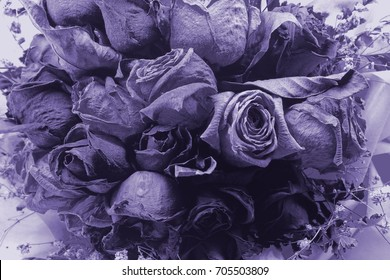 purple dry rose flower for background