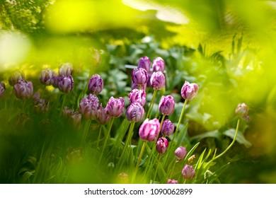 Purple Dutch tulips in green environment