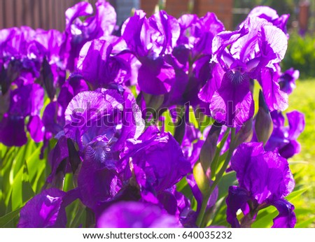 Purple Early Spring Iris Flowers Under Stock Photo Edit Now