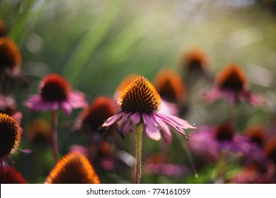 Purple Echinacea with blurred background