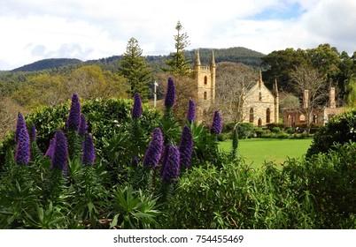 purple echium flowers and the  picturesque  convict church ruins at port arthur historic site, port arthur, tasmania, australia