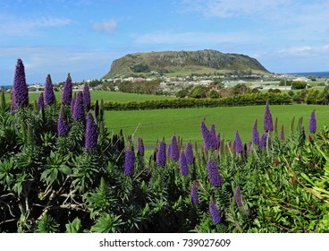 purple echium flowers and   the volcanic nut on a sunny day in stanley, in northern tasmania, australia
