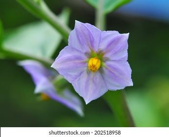 purple eggplant flowers on tree