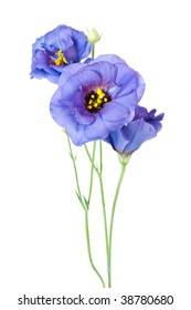 Purple Eustoma isolated on white