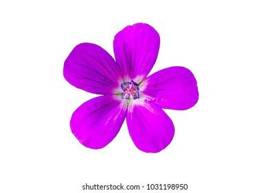 purple field flower on a white background