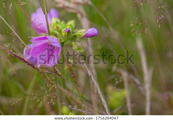 Purple field flower. Wildlife. Fresh plants.