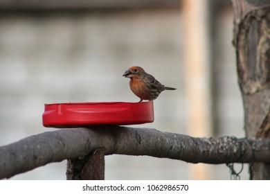 Purple Finch eating birdseeds