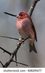 Purple Finch on a Natural Perch