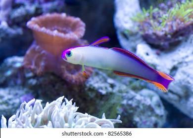 Purple Firefish in reef aquarium.