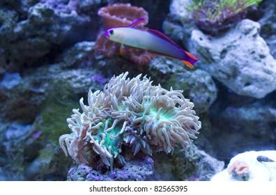 Purple Firefish swimming over Duncanopsammia Axifuga coral.