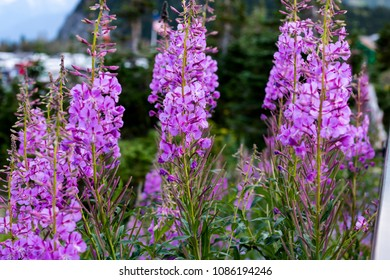 Purple Fireweed Blooms