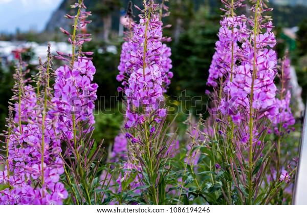 Purple Fireweed Blooms