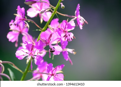 Purple fireweed flowers close up on an blur green background