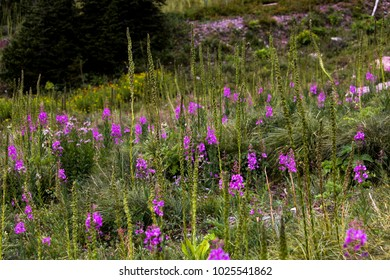 Purple Fireweed in Mountain Meadow