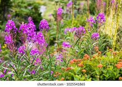 Purple Fireweed and Orange Butterfly Milkweed