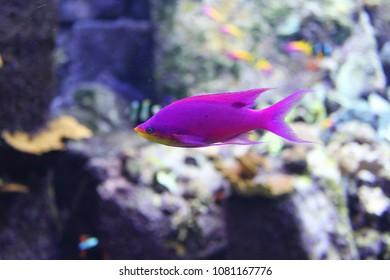 Purple fish at lost chambers aquarium,Atlantis palm ,Dubai