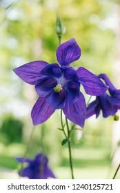 purple flower Aquilegia