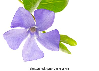 Purple Flower - Beautiful Periwinkle - Vinca minor - Isolated on White Background. blue periwinkle (Vinca minor) isolated on white background. periwinkle flower isolated on white background.