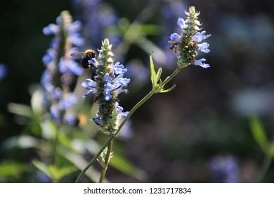 Purple flower with bee in summer sun at a garden in Capelle aan den Ijssel in Park Hitland