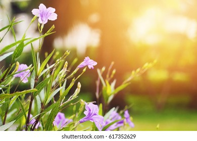 Purple flower are blooming in the morning and blured background