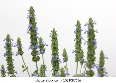 Purple flower blossoms and green foliage of Chia (Salvia hispanica L.) ,healthy organic herb growing in garden with gray sky.