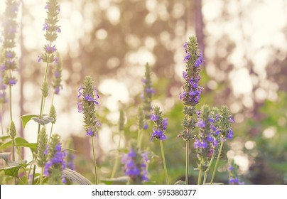 Purple flower blossoms and green foliage of Chia, healthy organic herb Salvia