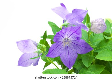 Purple flower, bud and leaves of a balloon flower