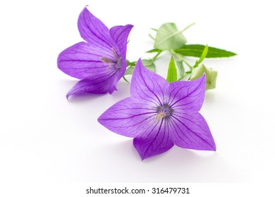 Purple flower, bud and leaves of  balloon flower or bellflowers (Platycodon grandiflorus) isolated on white background