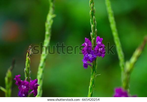 Purple Flower Butterfly Bush Closeup
