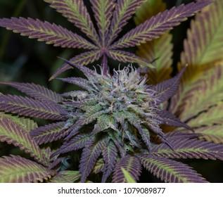 Purple flower cannabis - Bubba God Strain