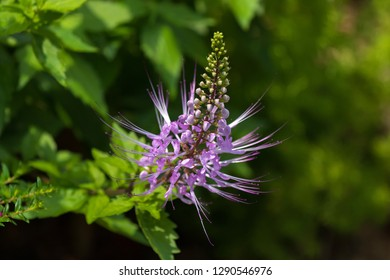 Purple flower of Purple Cat's Whiskers growing in tropical area (Orthosiphon aristatus)