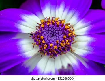 Purple Flower, cineraria